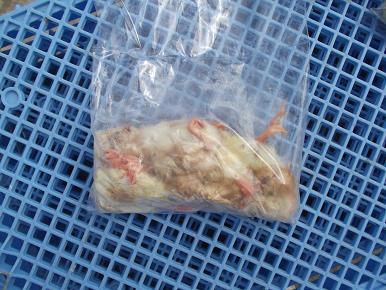 冷凍ひよこ 袋詰め(10羽入り)1