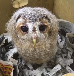 モリフクロウの可愛さイメージ