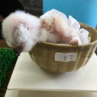 アメリカワシミミズク孵化しました!イメージ